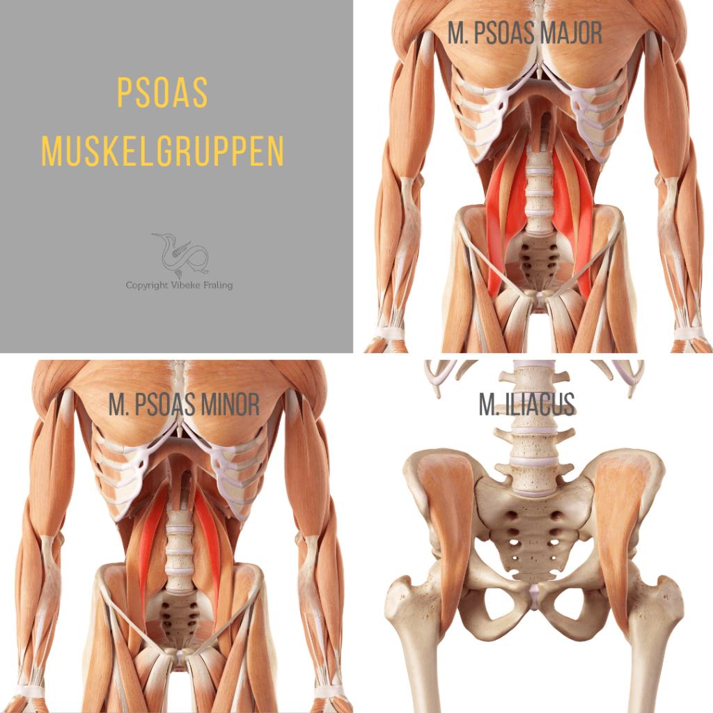 Musculus Psoas muskelgruppen