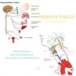 Nervus-Vagus
