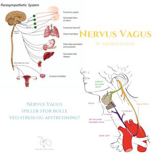 Nervus-Vagus-lille