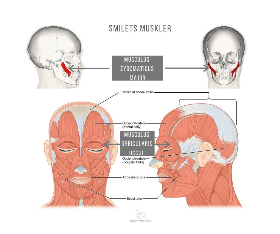 Smil - smilets muskler